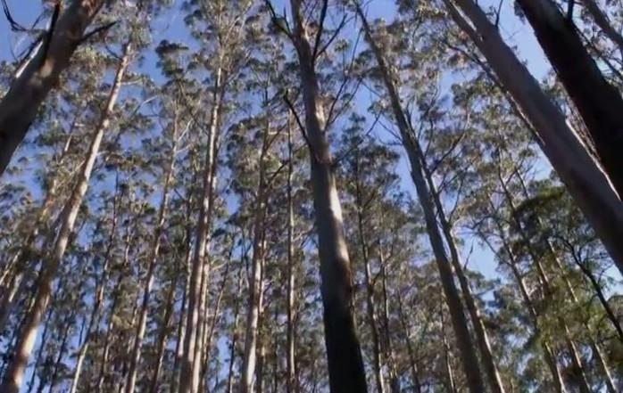 Pohon Eukaliptus