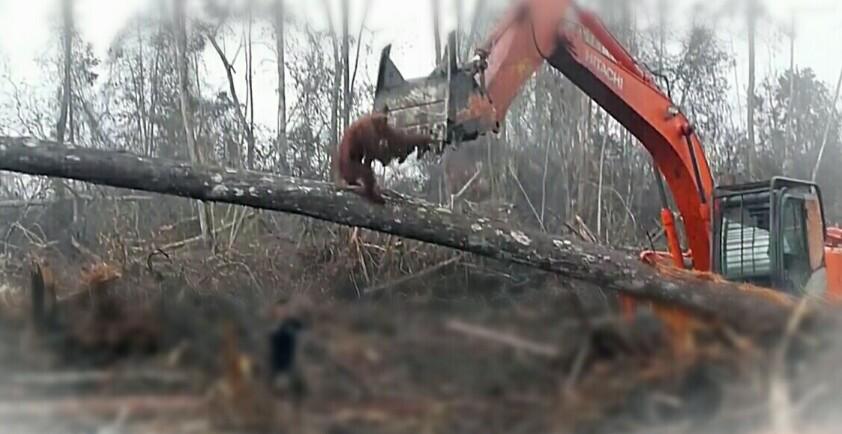 Seekor orangutan sedang menyerang excavator. (Sumber/youtube).